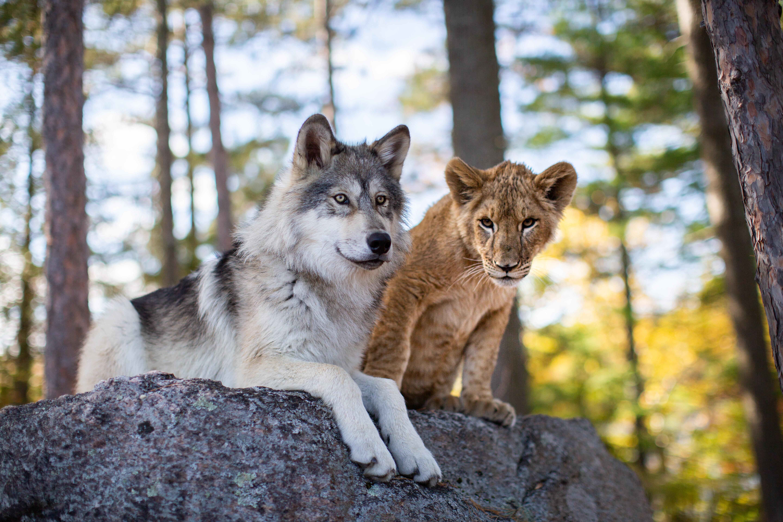 Il lupo e il leone